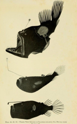 Lanternfish captured by William Beebe on his Arcturus Adventure